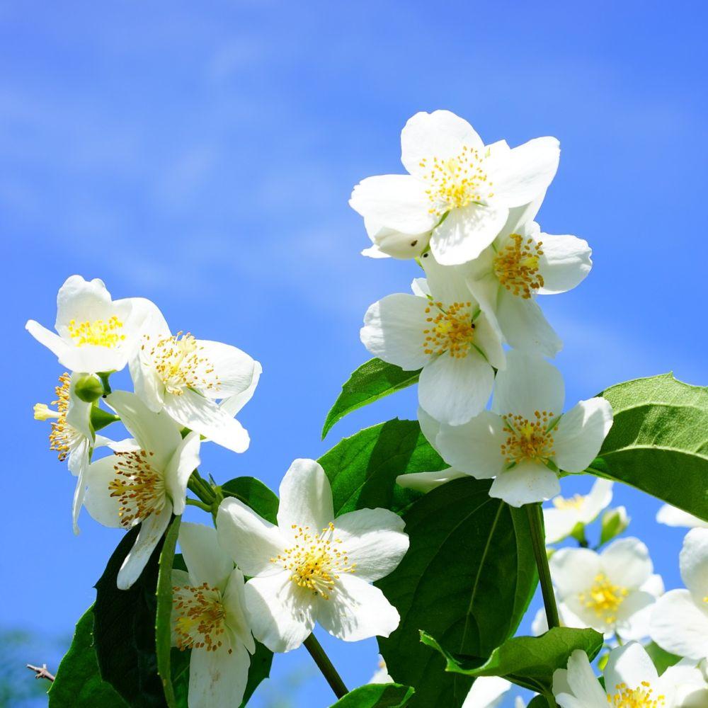 Seringat des jardins plantes et jardins for Fleurs des jardins