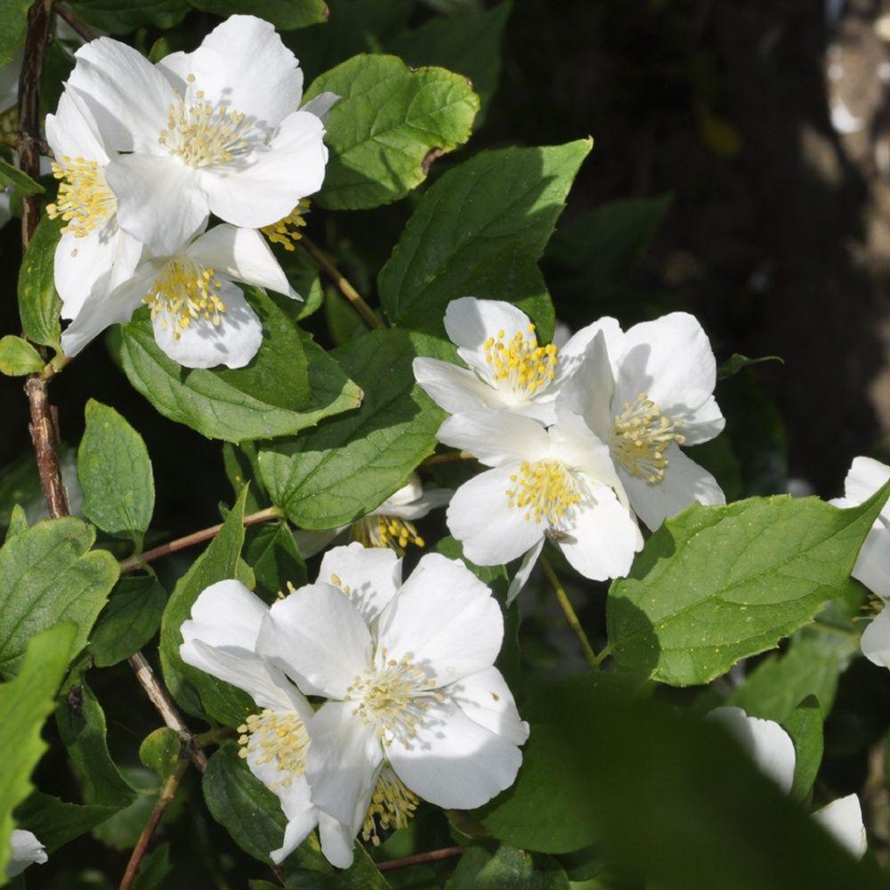 Seringat des jardins plantes et jardins for Plantes et jardins adresse