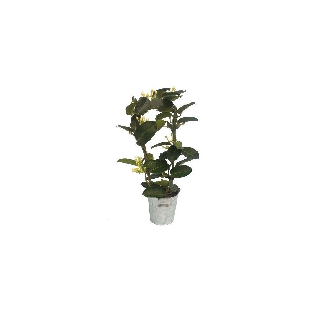 Jasmin de madagascar avec seau fleuriste en zinc plantes for Plante 150 maladies madagascar