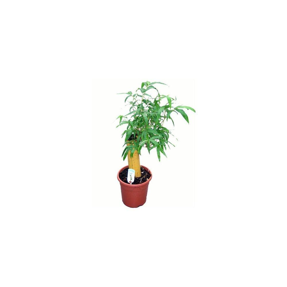 bambou d 39 int rieur sur tronc plantes et jardins. Black Bedroom Furniture Sets. Home Design Ideas