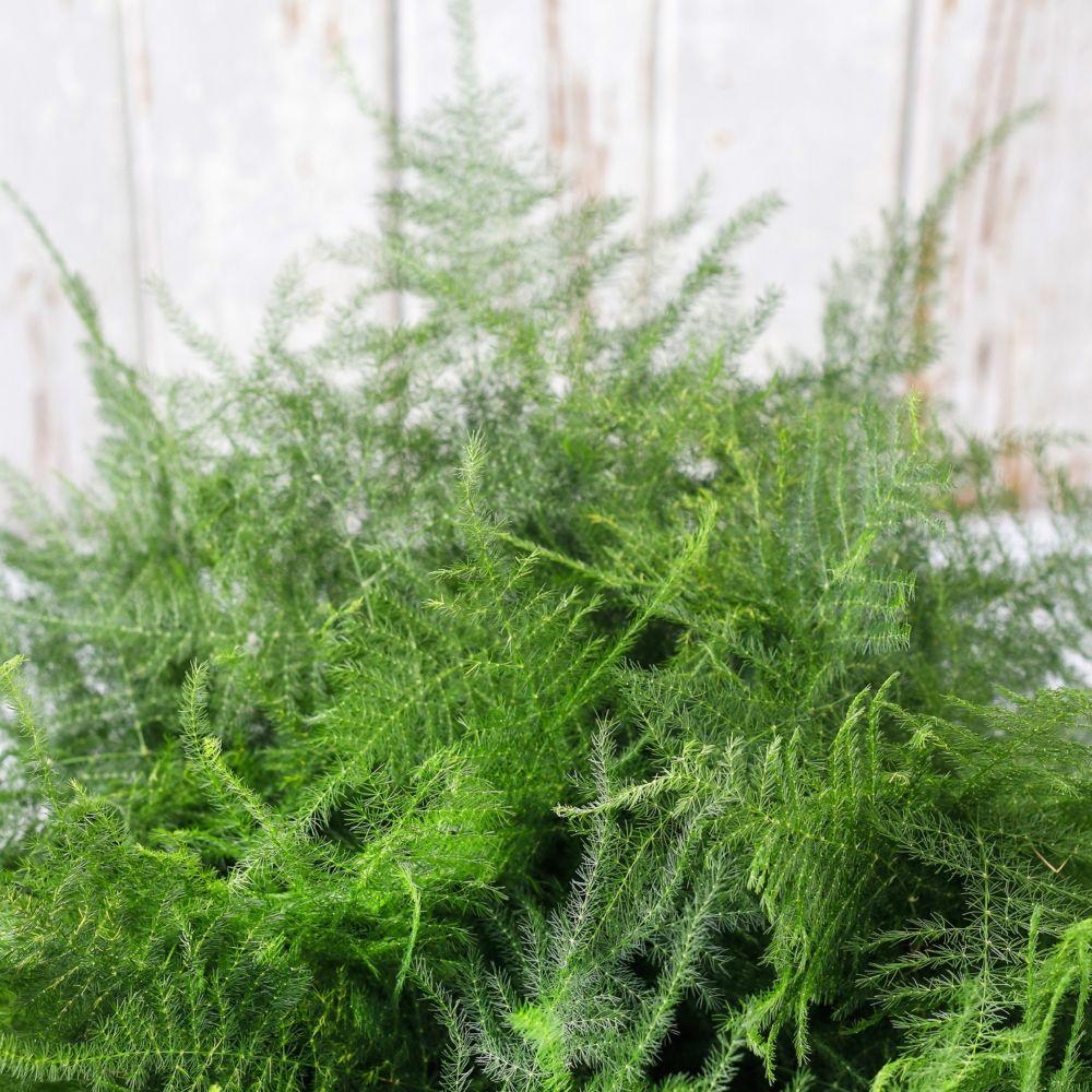 Asparagus plumosus plantes et jardins for Plante et jardins