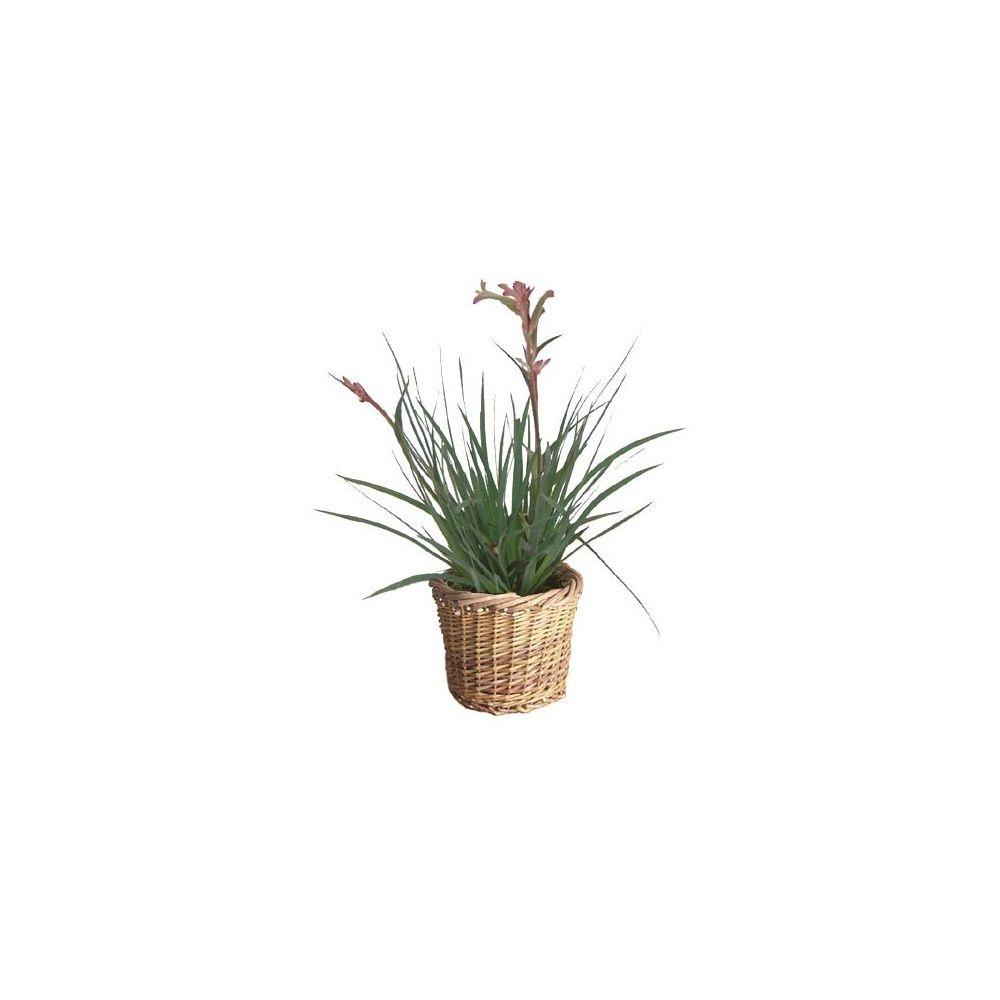 plante kangourou cache pot plantes et jardins. Black Bedroom Furniture Sets. Home Design Ideas