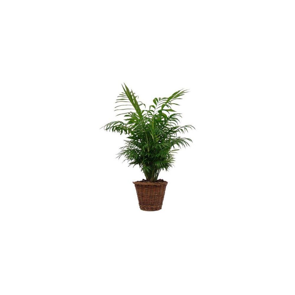 Palmier nain chamaedora cache pot tress plantes et - Palmier nain en pot ...