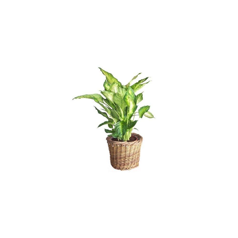 dieffenbachia 39 compacta 39 cache pot tress plantes et. Black Bedroom Furniture Sets. Home Design Ideas