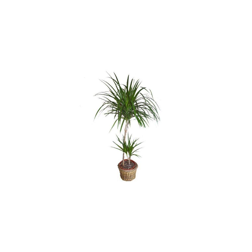 dracaena marginata 2 pieds cache pot tress plantes. Black Bedroom Furniture Sets. Home Design Ideas