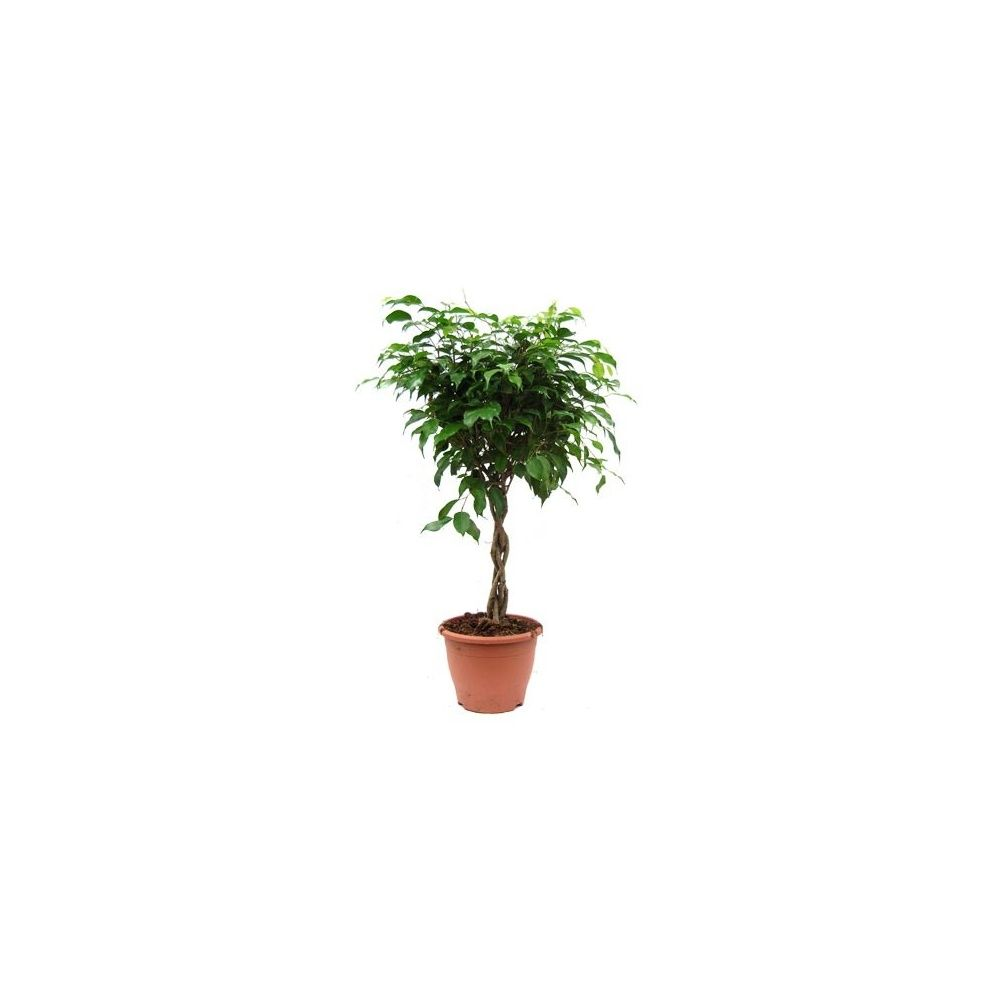 ficus benjamina tronc tress plantes et jardins. Black Bedroom Furniture Sets. Home Design Ideas