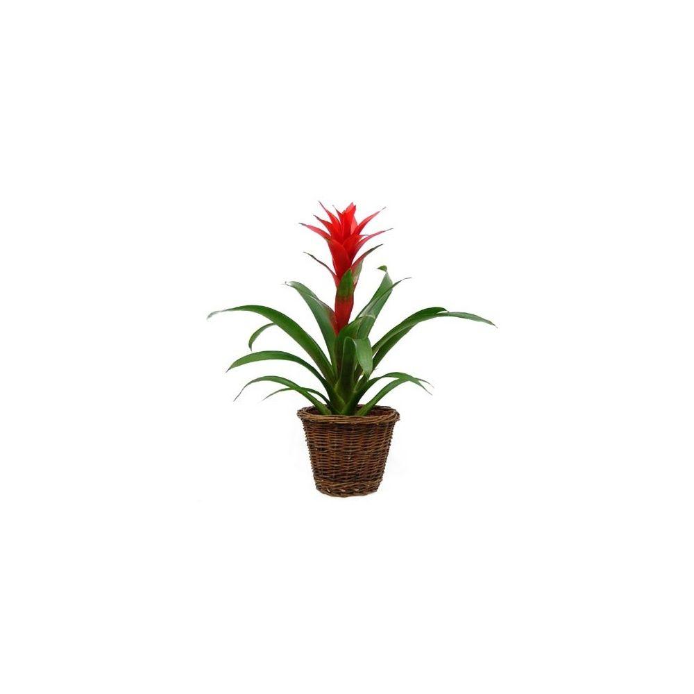guzmania rouge cache pot tress plantes et jardins. Black Bedroom Furniture Sets. Home Design Ideas