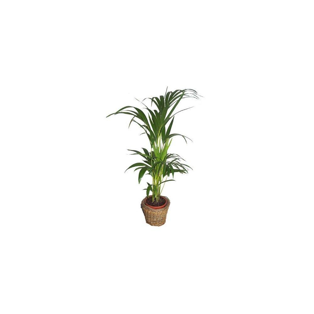 kentia 80 90 cm cache pot tress plantes et jardins. Black Bedroom Furniture Sets. Home Design Ideas