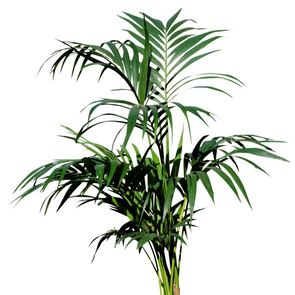 palmier kentia howea forsteriana plantes et jardins