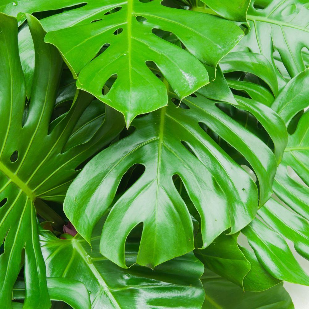 Philodendron monstera plantes et jardins for Plante et jardins