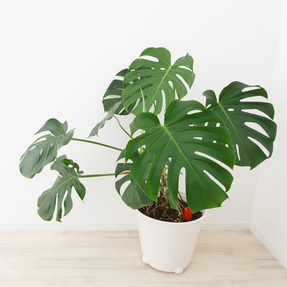 Philodendron monstera plantes et jardins for Plante monstera