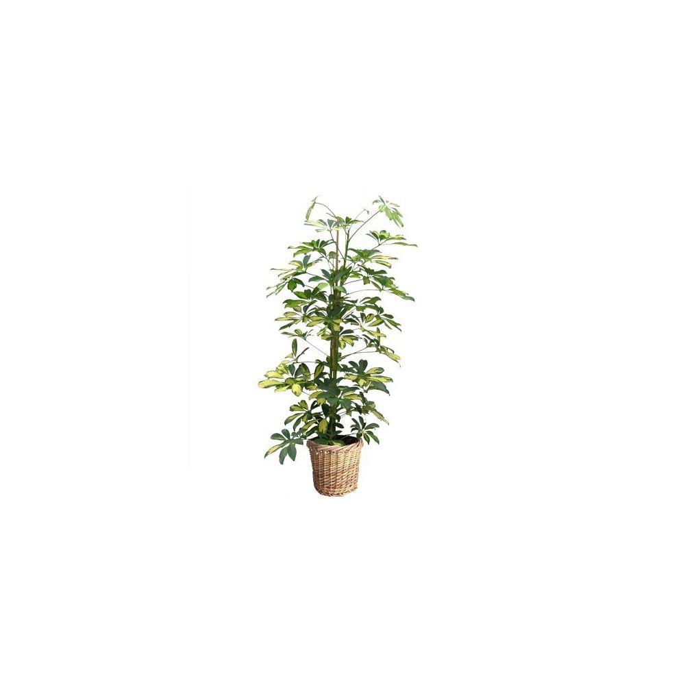 schefflera 39 gold capella 39 cache pot tress plantes et jardins. Black Bedroom Furniture Sets. Home Design Ideas