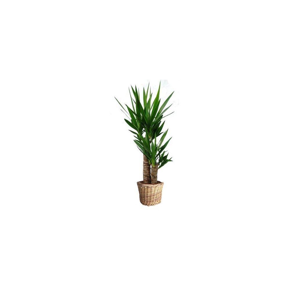 yucca 2 troncs cache pot tress plantes et jardins. Black Bedroom Furniture Sets. Home Design Ideas