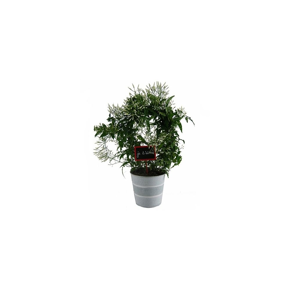 jasmin officinal cache pot zinc plantes et jardins. Black Bedroom Furniture Sets. Home Design Ideas