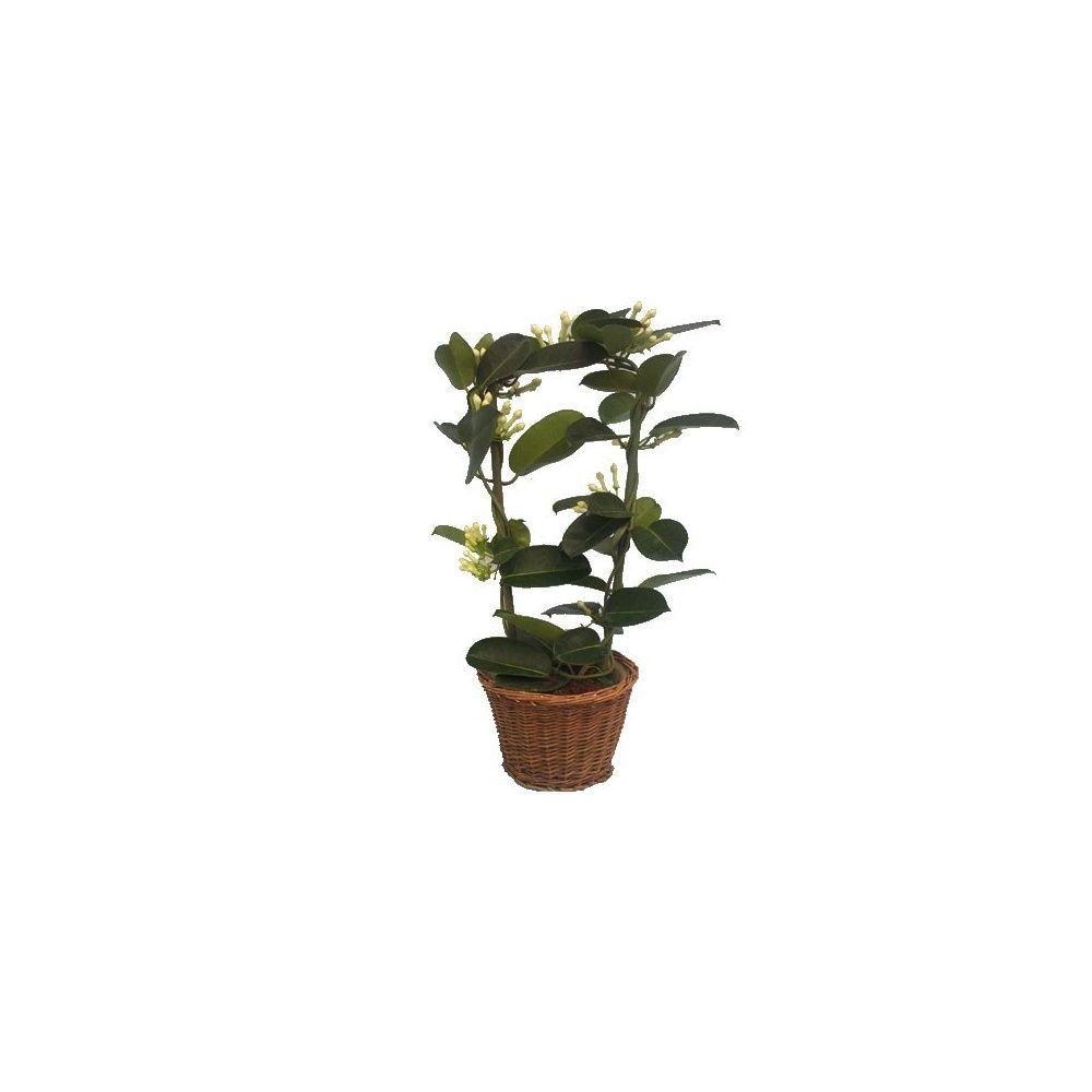 Jasmin de madagascar cache pot plantes et jardins for Plante 150 maladies madagascar