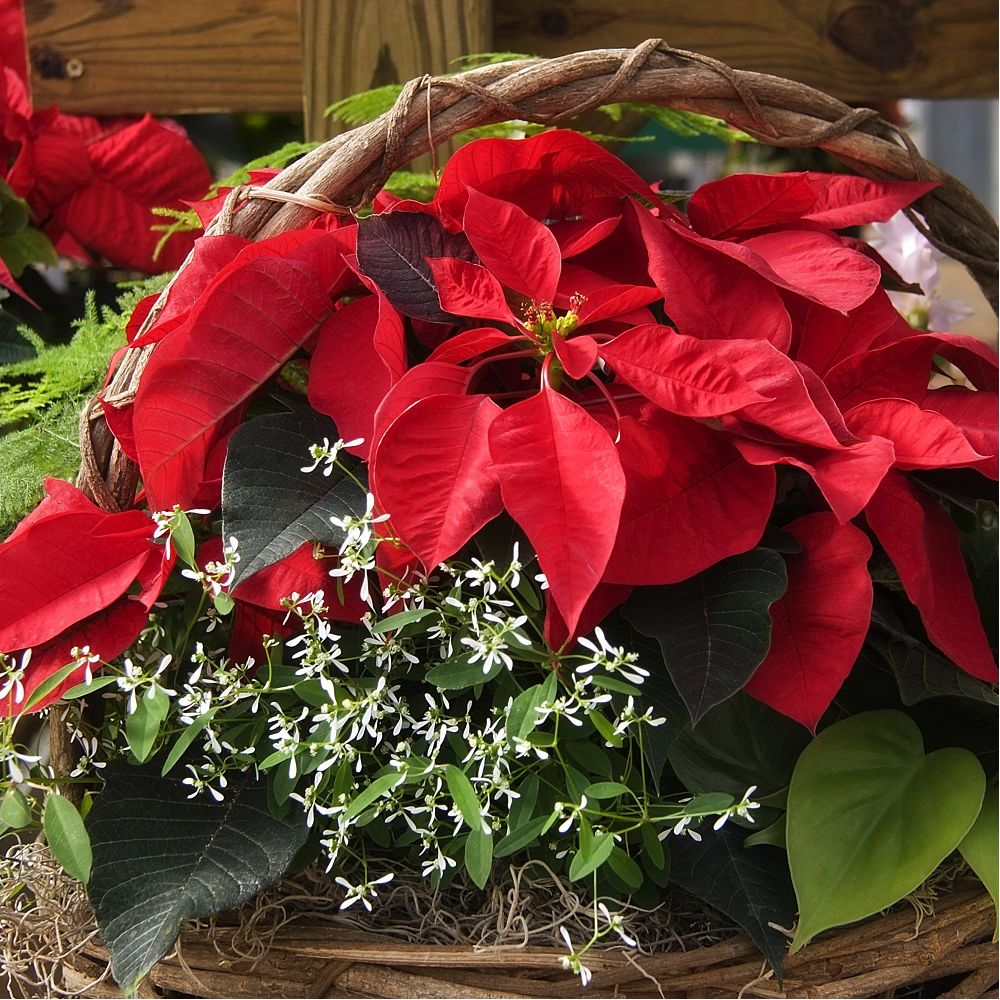 Poinsettia rouge etoile de no l plantes et jardins for Plante noel rouge