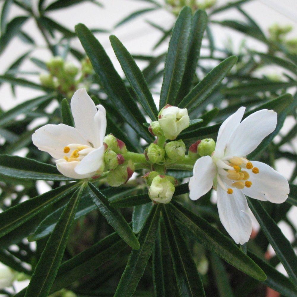 Oranger du mexique 39 aztec pearl 39 plantes et jardins - Oranger du mexique bouture ...