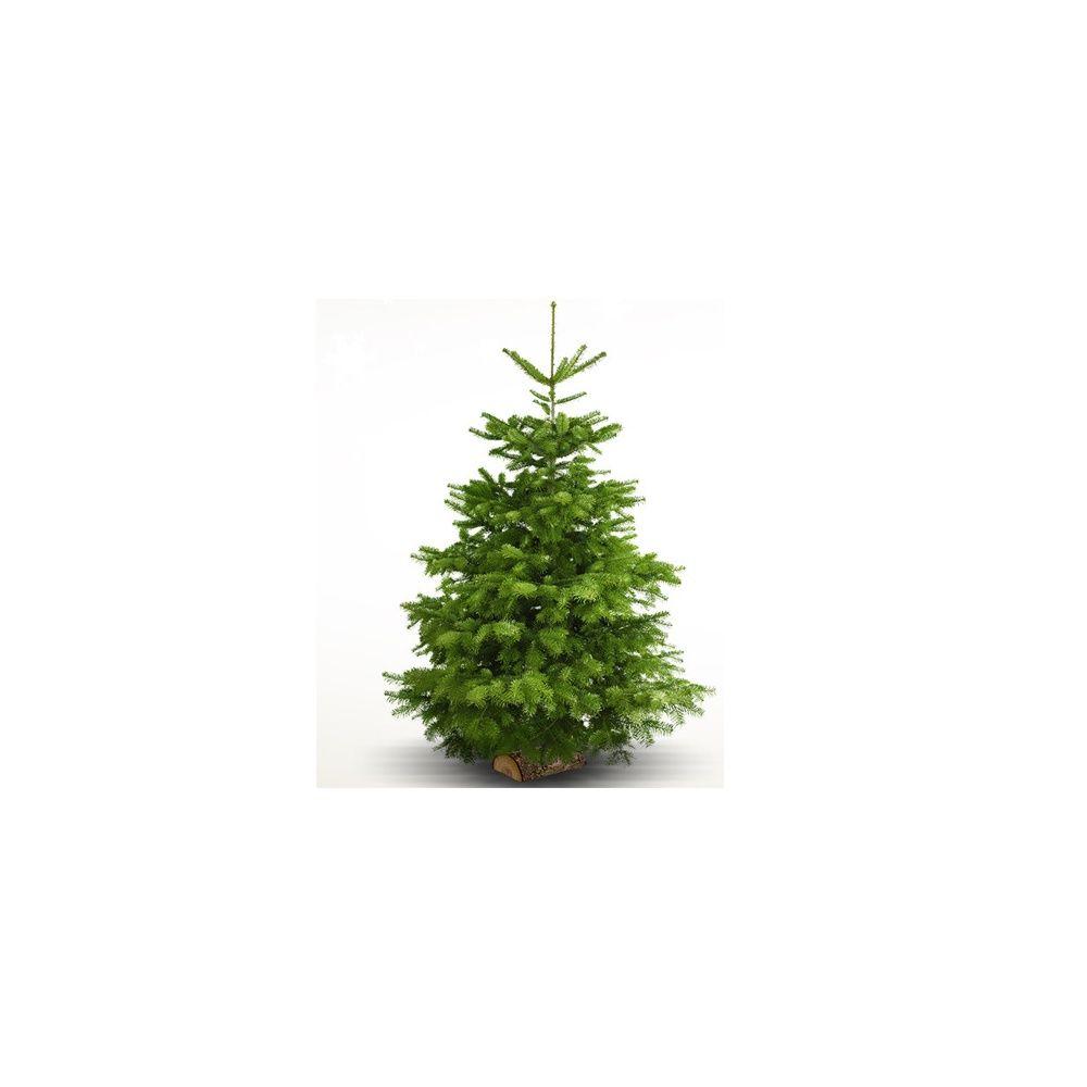 Sapin de no l nordmann sur b chette 300 350cm livraison incluse plantes e - Quand tailler un sapin ...