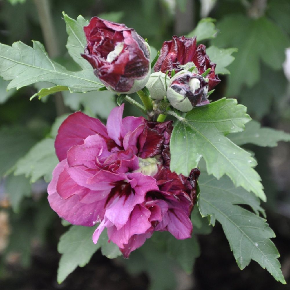 hibiscus 39 duc de brabant 39 plantes et jardins. Black Bedroom Furniture Sets. Home Design Ideas