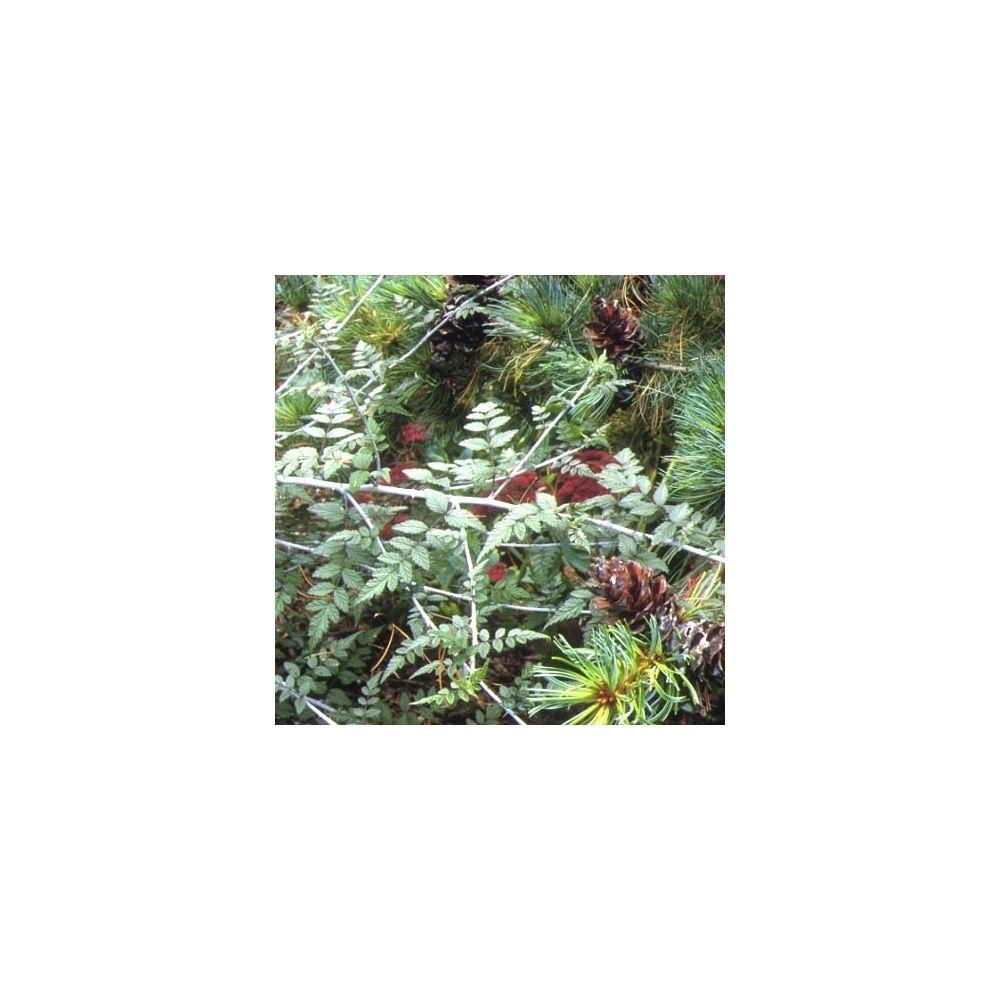 Ronce d 39 ornement du tibet plantes et jardins for Plantes ornement jardin