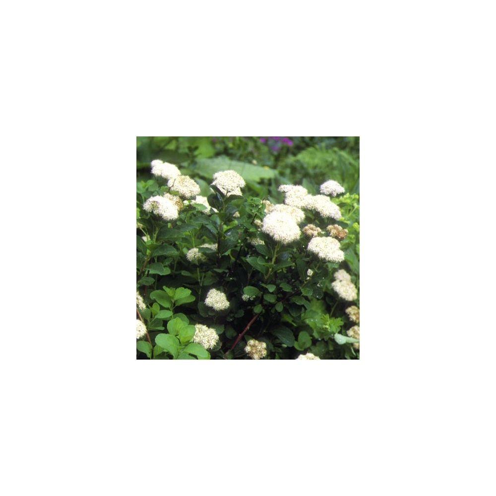 Spir e feuilles de bouleau plantes et jardins - Feuille de bouleau photo ...