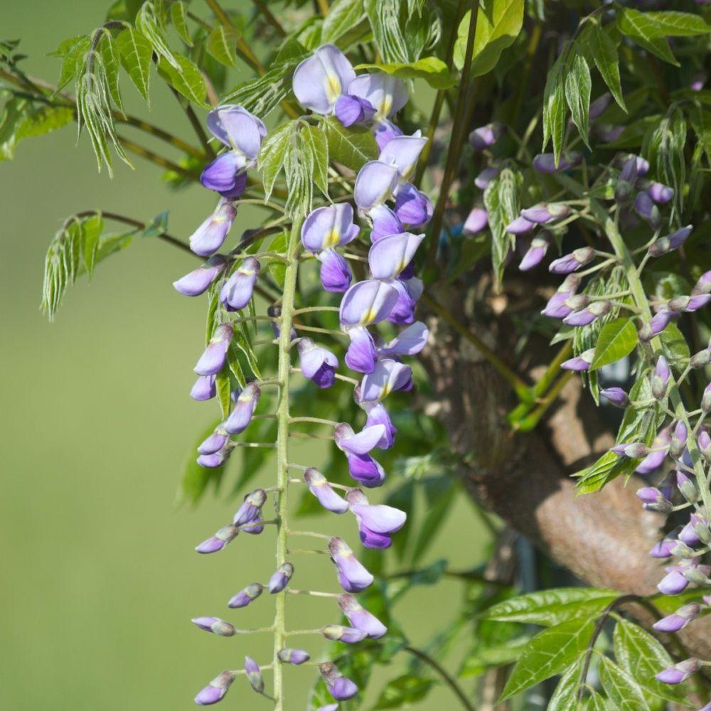 Glycine du japon 39 prematura 39 plantes et jardins for Plantes et jardins