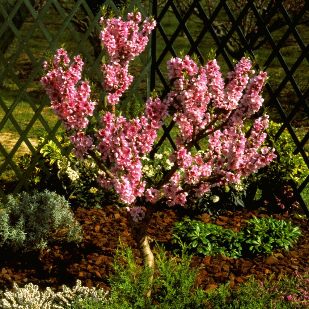 nectarinier nain 39 rubis 39 en pot plantes et jardins. Black Bedroom Furniture Sets. Home Design Ideas