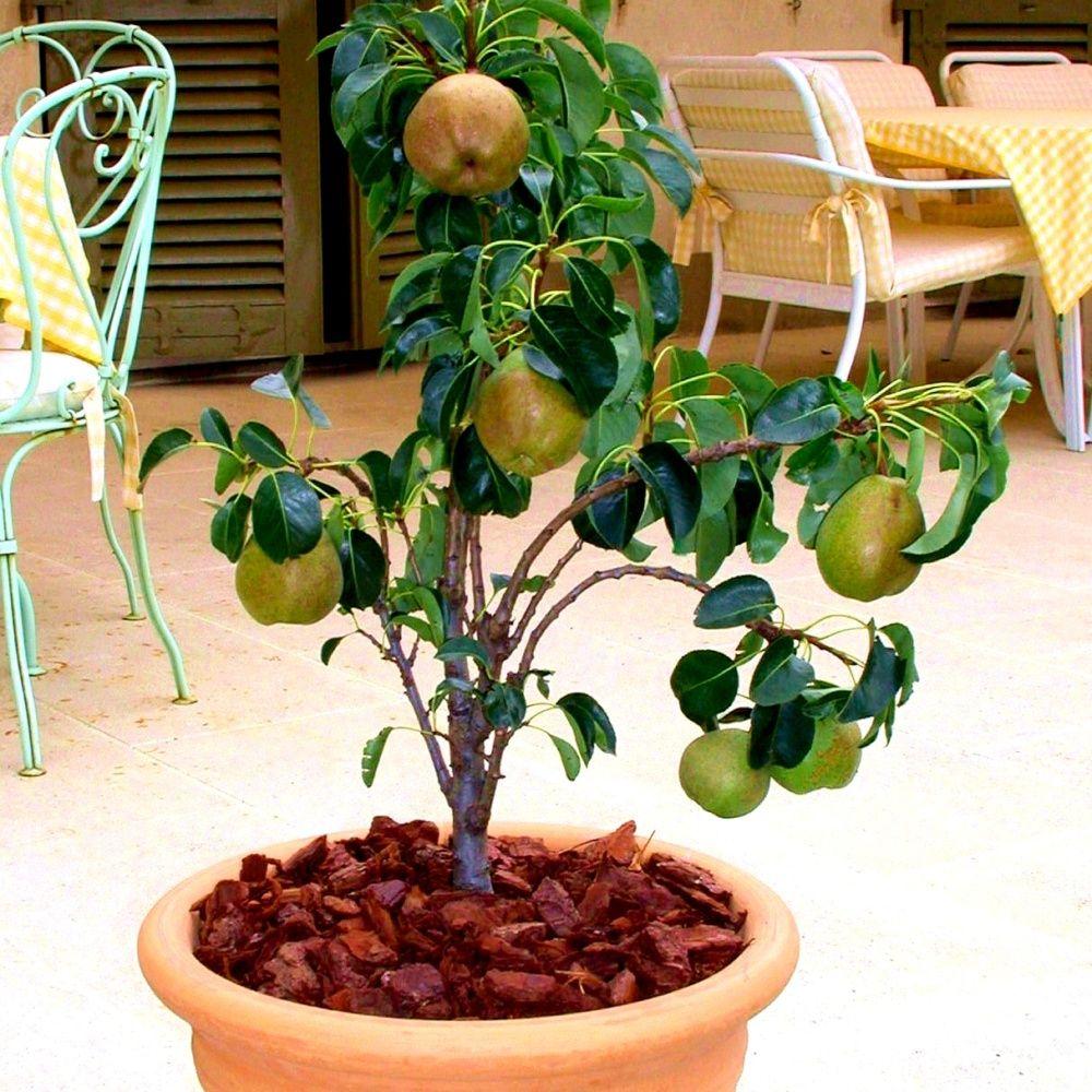 Poirier nain Garden Gem en pot Plantes et Jardins