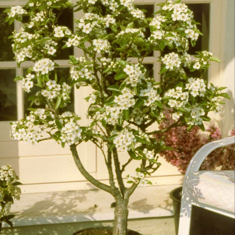 Poirier nain 39 garden pearl 39 en pot plantes et jardins - Que planter en janvier ...