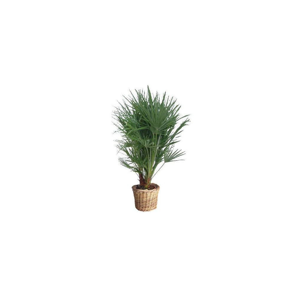palmier chamareops humilis cache pot plantes et jardins. Black Bedroom Furniture Sets. Home Design Ideas