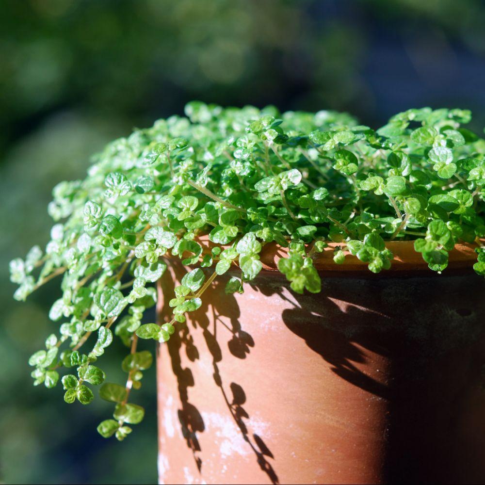 Helxine plantes et jardins - Www plantes et jardins com ...