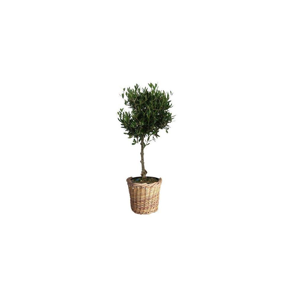 olivier tige cache pot plantes et jardins. Black Bedroom Furniture Sets. Home Design Ideas