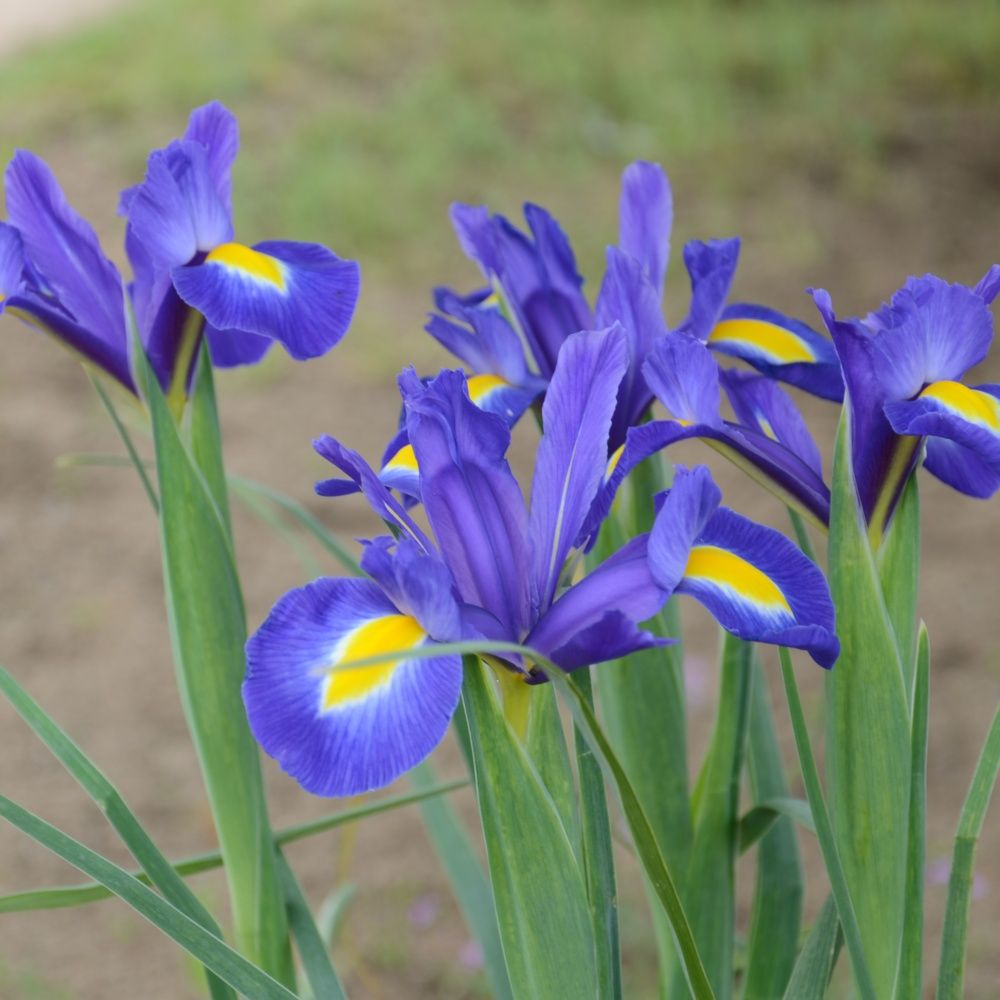 iris de hollande 39 blue magic 39 lot de 25 bulbes plantes. Black Bedroom Furniture Sets. Home Design Ideas