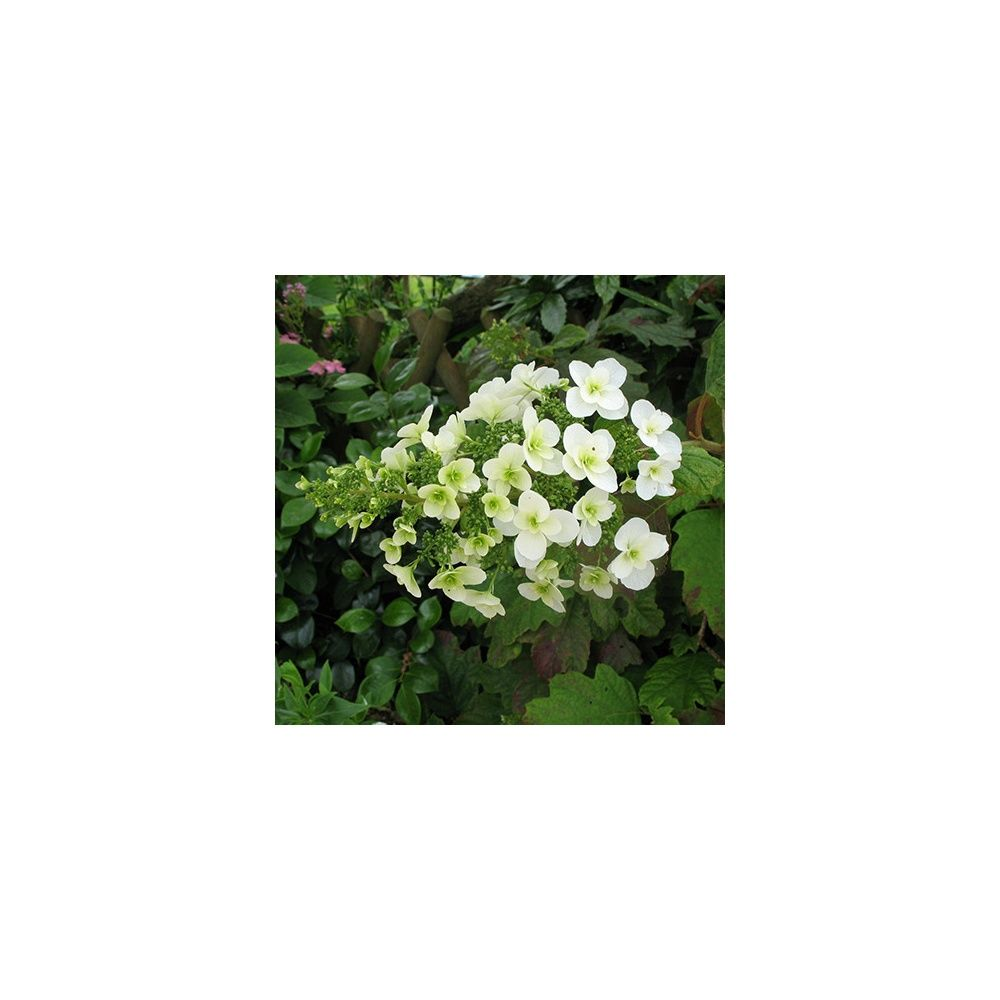 Hortensia feuilles de ch ne plantes et jardins for Plante 5 feuilles