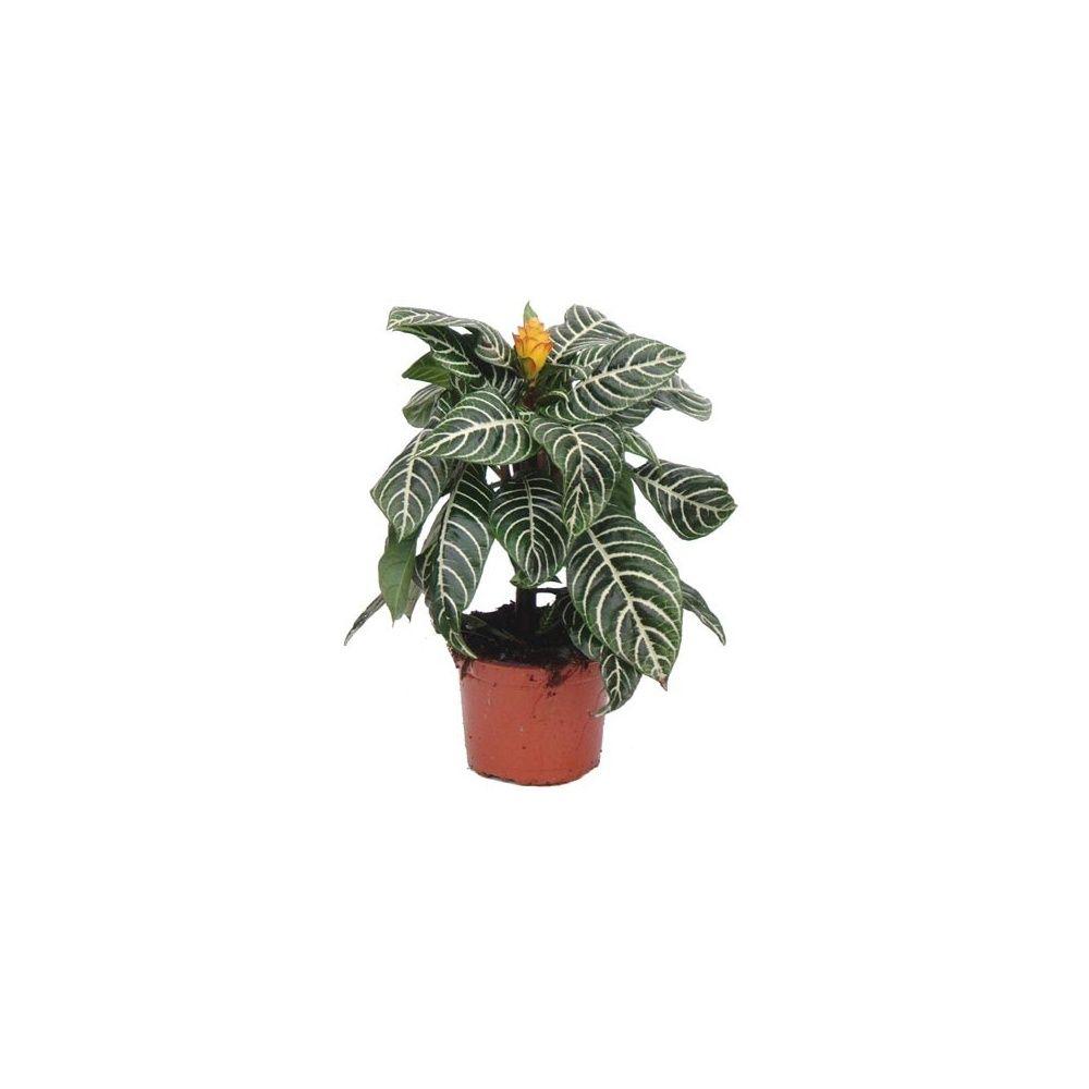 Aphelandra dania plantes et jardins - Www plantes et jardins com ...