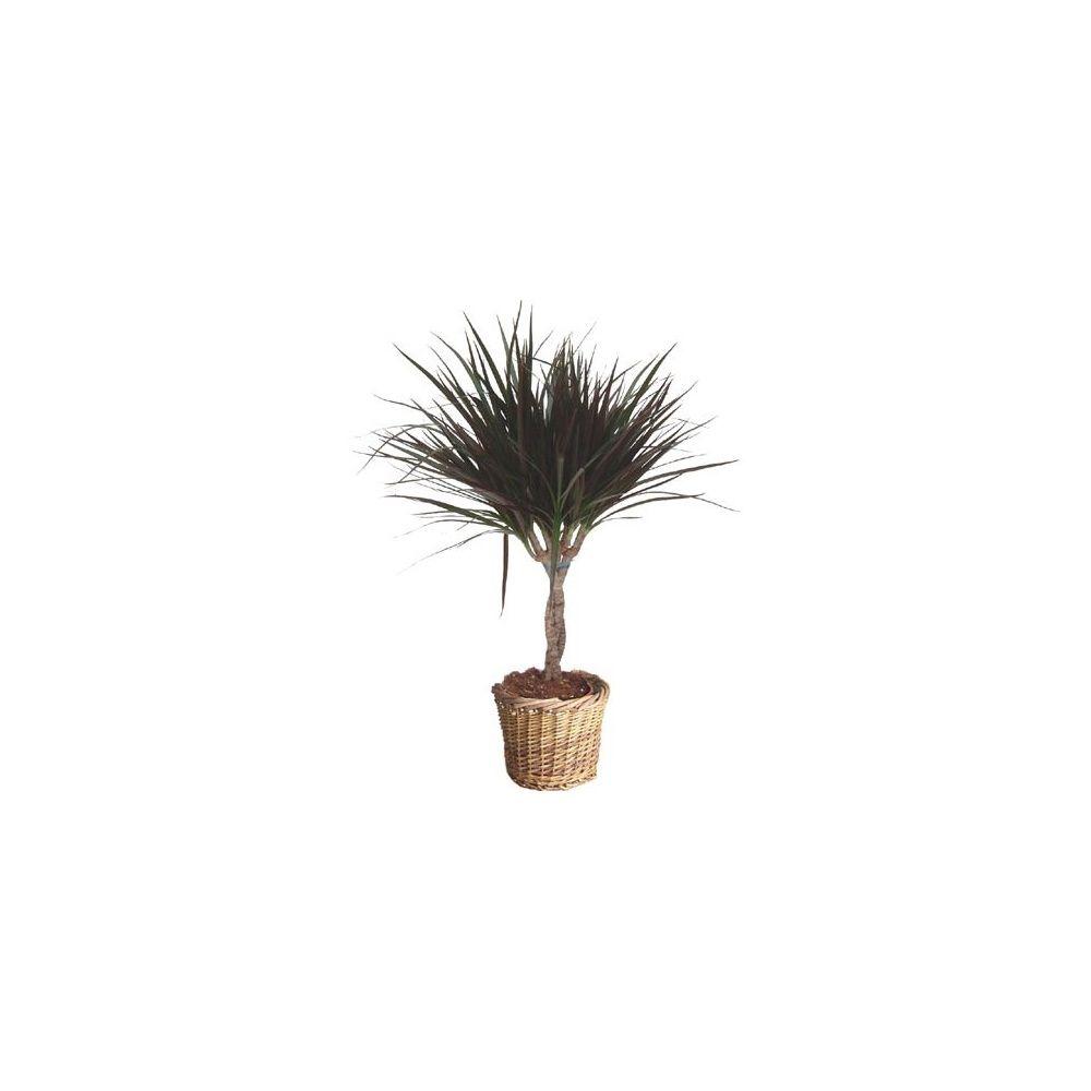 dracaena 39 magenta 39 tronc tress cache pot plantes et jardins. Black Bedroom Furniture Sets. Home Design Ideas