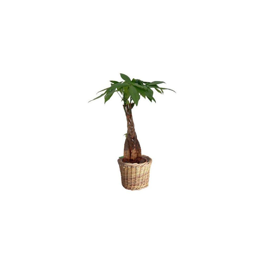 pachira au tronc tress cache pot plantes et jardins. Black Bedroom Furniture Sets. Home Design Ideas