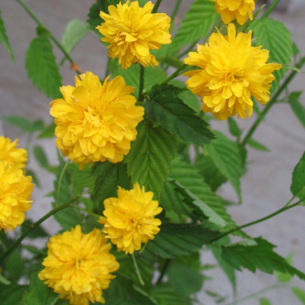 Cor te du japon 39 pleniflora 39 plantes et jardins - Arbuste japonais fleur jaune ...