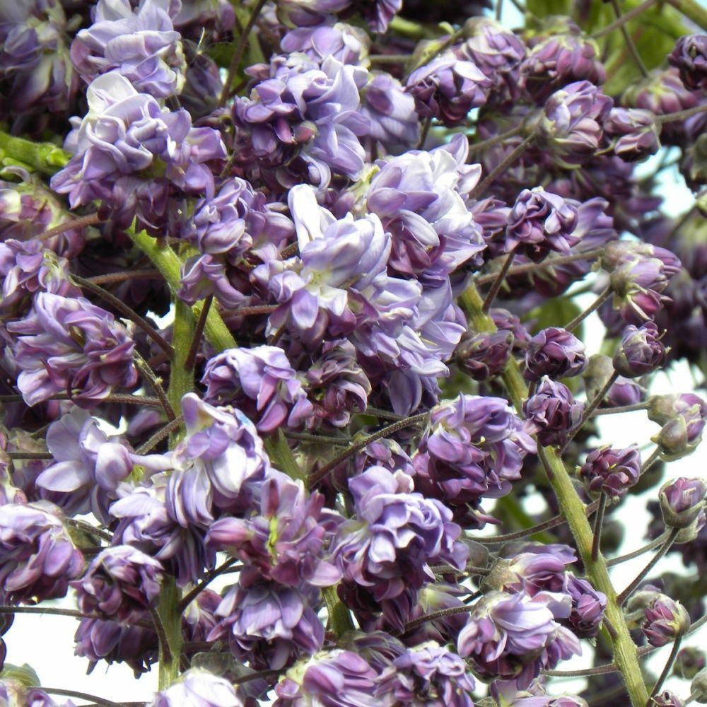 glycine du japon 39 violacea plena 39 plantes et jardins. Black Bedroom Furniture Sets. Home Design Ideas
