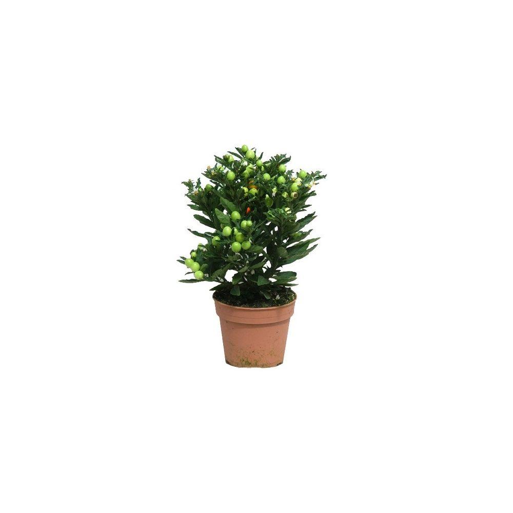 Pommier d 39 amour plantes et jardins - Www plantes et jardins com ...