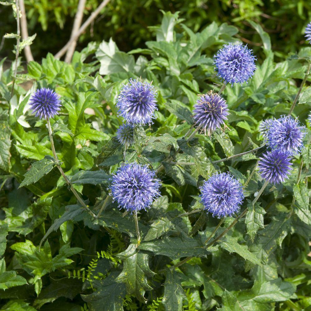 Echinops ritro plantes et jardins for Plantes et jardins adresse