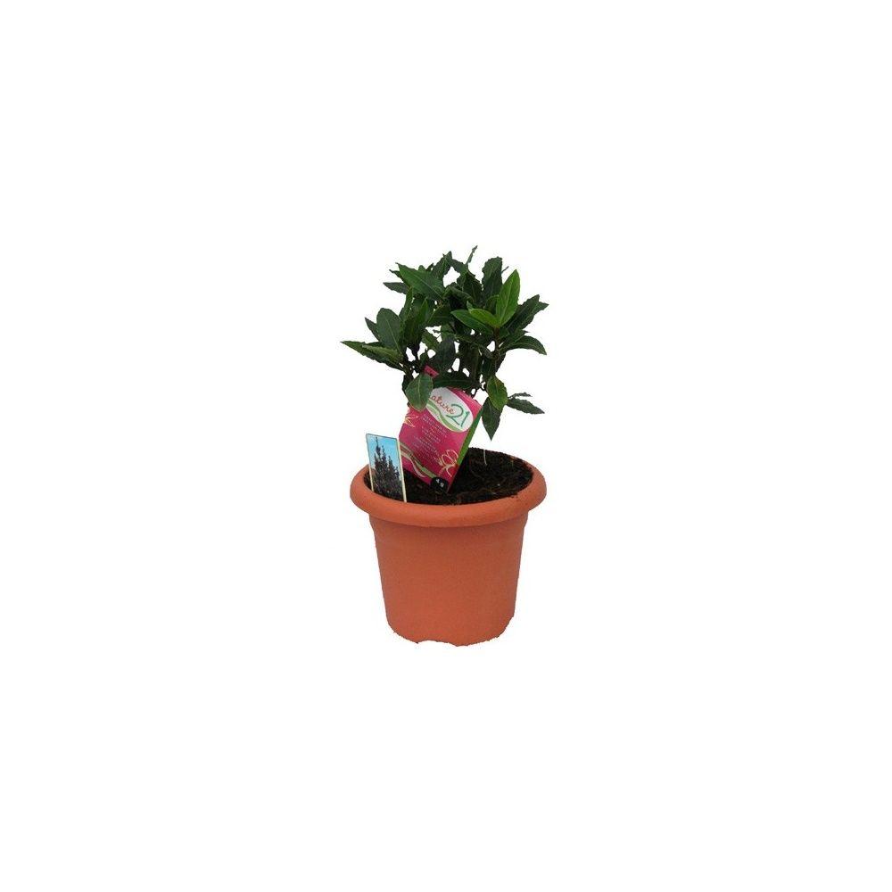 Entretien laurier en pot 28 images cultiver un laurier for Entretien plantes jardin