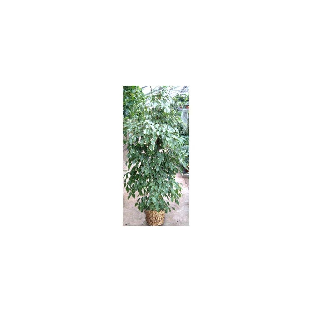 ficus 39 golden king 39 150cm cache pot tress plantes et. Black Bedroom Furniture Sets. Home Design Ideas