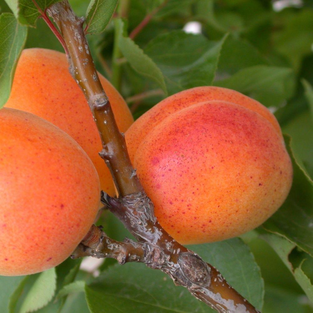 Abricotier nain 'Garden Aprigold®' en pot