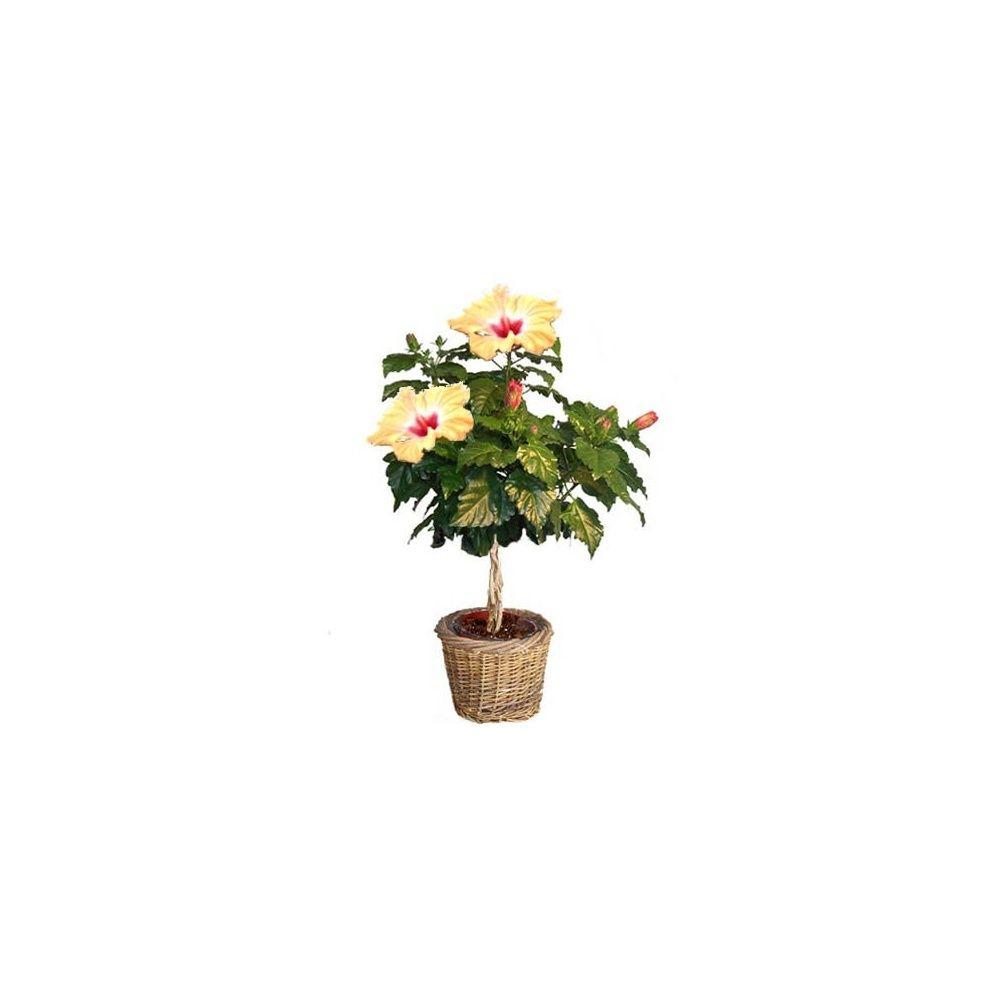 hibiscus tige jaune cache pot livraison express. Black Bedroom Furniture Sets. Home Design Ideas