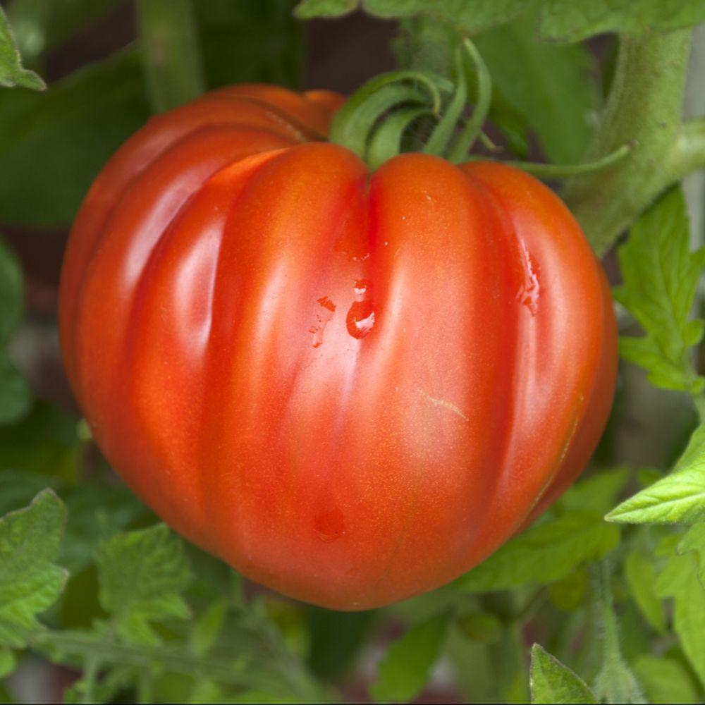 tomate coeur de boeuf plantes et jardins. Black Bedroom Furniture Sets. Home Design Ideas