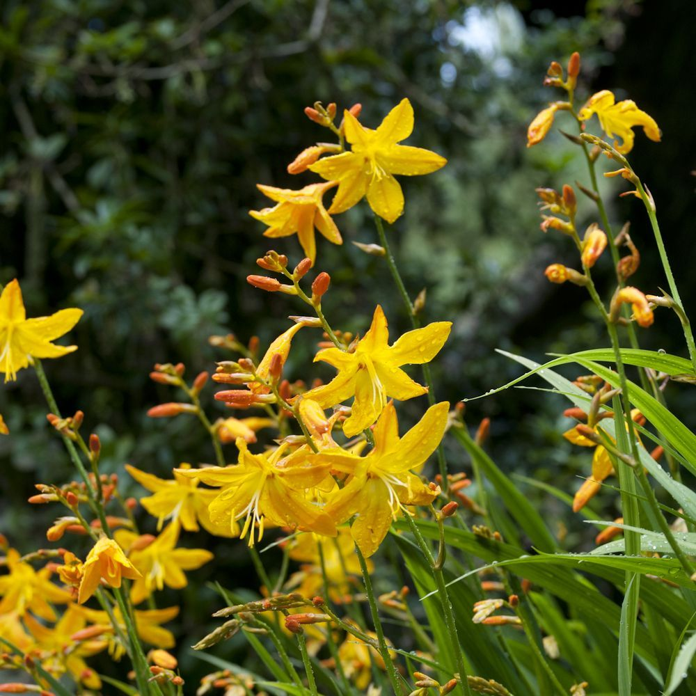 Crocosmia masonorum georges davidson plantes et jardins for Plante et jardin catalogue
