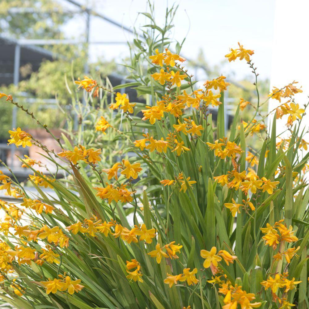 Crocosmia masonorum georges davidson plantes et jardins - Www plantes et jardins com ...