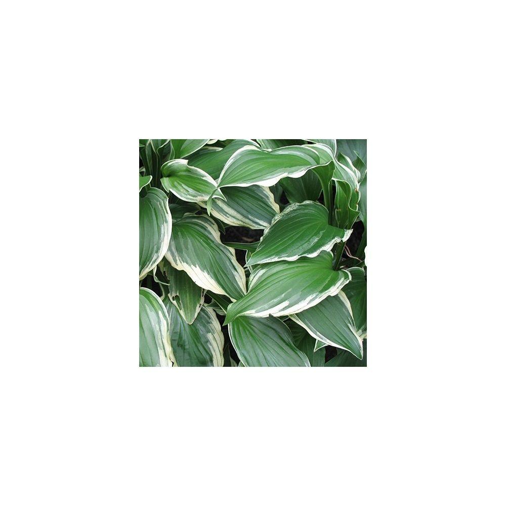 Hosta albomarginata plantes et jardins for Plante et jardins