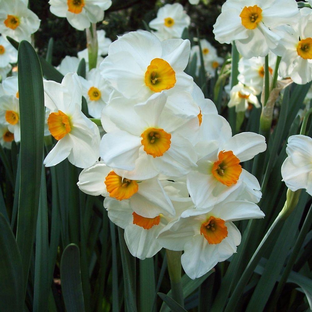 narcisse 39 geranium 39 lot de 9 plantes et jardins. Black Bedroom Furniture Sets. Home Design Ideas